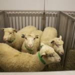 The GraftCraft pre-clin trial sheep